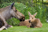 Cow Moose and Calves Laying on Lawn in Anchorage Residents Yard, Sc Alaska Spring Lámina fotográfica por  Design Pics Inc