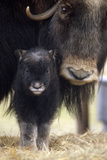 Closeup of Muskox Cow with Calf Captive Alaska Wildlife Conservation Center Sc Alaska Spring Fotografisk tryk af  Design Pics Inc