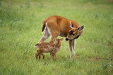 Sitka Black Tail Doe with Fawn in Meadow Captive Alaska Wildlife Conservation Cntr Photographic Print by  Design Pics Inc