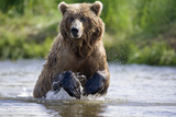 Grizzly Chasing Salmon in River During Summer Months in Alaska Fotoprint van  Design Pics Inc