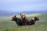 4 Young Brown Bear Cubs Huddled Together on Tundra Katmai National Park Southwest Alaska Summer Photographic Print by  Design Pics Inc