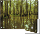 Cypress Trees Reflected in the Green Waters of Bayou Long Poster by John Eastcott and Yva Momatiuk
