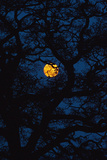 Moon Rising Behind Old Oak Tree, Petersfield, Hampshire, Uk Photographic Print by  Design Pics Inc