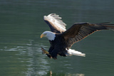 Close Up of a Bald Eagle Catching a Fish Out of the Inside Passage Waters of Southeast Alaska Photographic Print by  Design Pics Inc