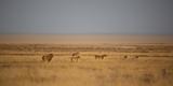 A Pride of Lions, Panthera Leo, Look Out over the Open Savanna Fotografisk tryk af Alex Saberi
