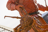 Crab Fisherman Carries a Brown Crab to the Hold of the F Photographic Print by  Design Pics Inc