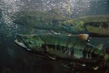Closeup of Chum Salmon Underwater at Dipac Hatchery , Juneau Alaska Fotoprint van  Design Pics Inc