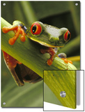 Red-Eyed Tree Frog, Costa Rica Prints by Steve Winter
