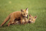 Red Fox Kits Playing Together on Golf Course on Elmendorf Airforce Base Anchorage Alaska Summer Photographic Print by  Design Pics Inc