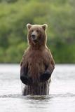 Brown Bear Sow Standing Fotoprint van  Design Pics Inc
