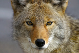 Close Up of Coyote Death Valley Np California Photographic Print by  Design Pics Inc