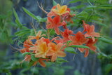 Close Up of a Cluster of Wild, Flame Azaleas in Bloom Photographic Print by Amy White and Al Petteway