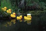Rubber Ducks in a Row Pond Southcentral Alaska Fotografisk tryk af  Design Pics Inc