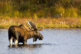 A Large Bull Moose Wades Through a Permafrost Pond in Denali National Park Near Wonder Lake Photographic Print by  Design Pics Inc