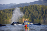Man Sea Kayaking Near Swimming Pod of Humpback Whales Inside Passage Southeast Alaska Summer Photographic Print by  Design Pics Inc