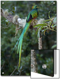 Resplendent Quetzal, Pharomachrus Mocinno, Bird Perched in a Tree Art by Roy Toft
