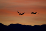 Two Silhouetted Tundra Swans, Cygnus Columbianus, Flying Through a Sky Painted by Sunset Photographic Print by Robbie George