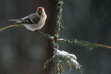 Common Redpolls in Spruce Tree During Snowstorm in Ak Winter Photographic Print by  Design Pics Inc