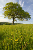 Solitary Oak Tree and Wildflowers in Field Photographic Print by  Design Pics Inc