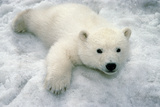 Polar Bear Cub Playing in Snow Alaska Zoo Photographic Print by  Design Pics Inc