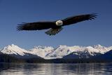 Bald Eagle in Flight Inside Passage Tongass National Forest Se Alaska Spring Fotografisk tryk af Design Pics Inc