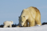 Mother Polar Bear (Ursus Maritimus) Playing with Her Cub in Wapusk National Park; Churchill Photographic Print by  Design Pics Inc