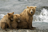 Mother Grizzly with 2nd Year Cubs by River Sw Ak Summer Mcneil State Game Sanctuary Photographic Print by  Design Pics Inc