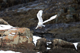 A Snowy Owl, Bubo Scandiacus, Flies over the Maine Coastline with a Meal in its Talons Photographic Print by Robbie George