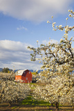 Apple Blossom Trees and a Red Barn Photographic Print by  Design Pics Inc