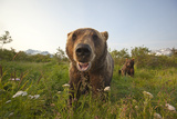 Captive Grizzlies at the Alaska Wildlife Conservation Center Near Fotografisk tryk af Design Pics Inc