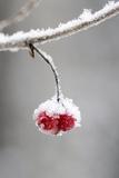 Ice Crusted Frozen Berries Hanging on Branch Southcentral Alaska Winter Fotografie-Druck von  Design Pics Inc