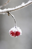 Ice Crusted Frozen Berries Hanging on Branch Southcentral Alaska Winter Stampa fotografica di  Design Pics Inc