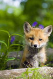 Red Fox Kit in Spring Wildflowers Minnesota Captive Photographic Print by  Design Pics Inc