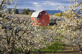 Apple Blossom Trees and a Red Barn Lámina fotográfica por  Design Pics Inc