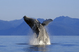 Humpback Whale Breaching in Inside Passage Se Ak Summer Reproduction photographique par  Design Pics Inc