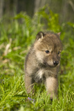 Wolf Pup in Grass Captive Minnesota Spring Photographic Print by  Design Pics Inc