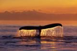 Humpback Whale Fluke at Sunset Inside Passage Se Ak Summer Reprodukcja zdjęcia autor Design Pics Inc