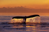 Humpback Whale Fluke at Sunset Inside Passage Se Ak Summer Photographic Print by  Design Pics Inc