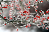 Red Berries Covered in Ice Brighten Up a December's Day Photographic Print by Robbie George