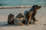 An Adult Sea Lion with Pups on Espanola Island in the Galapagos Photographic Print by Karen Kasmauski
