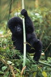 Close-Up of Young Gorilla, Looking at Camera Photographic Print by  Design Pics Inc
