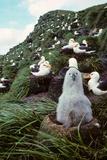 Black-Browed Albatross Chick Sitting on Nest Bird Island Antarctica Spring Fotografisk tryk af  Design Pics Inc
