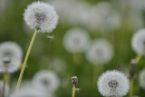 Close View of Dandelions, Near Gap, France Photographic Print by Keith Ladzinski