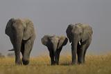 Elephant Herd Walking in Northern Botswana Photographic Print by Beverly Joubert