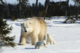 Polar Bear (Ursus Maritimus) Sow and Cubs Walking in Wapusk National Park; Churchill Lámina fotográfica por  Design Pics Inc