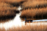 An American Black Duck, Anas Rubripes, Swims Through a Marsh at Sunset Photographic Print by Robbie George