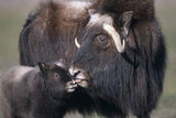Captive Adult Female Musk Ox with Calf at the Alaska Wildlife Conservation Center During Summer Photographic Print by  Design Pics Inc