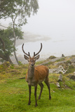 A Deer Stands in a Foggy Meadow by the Water's Edge; Argyll Scotland Photographic Print by  Design Pics Inc