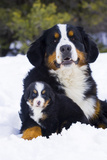 Adult and Puppy Bernese Mountain Dog Portrait in Winter Photographic Print by  Design Pics Inc