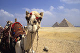 Close-Up on a Camel Looking at the Camera with Pyramids in the Background, Giza, Egypt; Giza, Egypt Fotografie-Druck von  Design Pics Inc